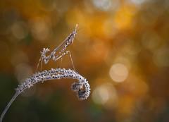 Sueños otoñales (Chusmaki) Tags: empusa macro otoño flares insectos mantis luz color omd1 60mm
