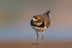Little Ringed Plover (Irtiza Bukhari) Tags: eye closeup ultracloseup start littleringedplover plover ringed little colors water lake birdinpond nature beauty wildbird wildlife birdofpunjab wildlifeofpakistan one bird pondbird bukhari irtiza irtizabukhari