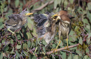 Green Heron feeding chicks Crayfish