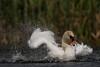 Swan cleaning & splashing (4 of 5) (Robin M Morrison) Tags: swan cleaning splashing seatonmarshes devon sun water eye level