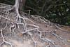 Ke'e Beach (Tony Pulokas) Tags: tree ironwood casuarinaequisetifolia casuarina beachsheoak austrailianpine beach hawaii kauai keebeach haena sand tilt blur bokeh