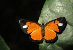 Unidentified Mesene sp (Camerar) Tags: butterfly idme mesene peru riodinidae butterflies insect