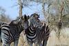 Buchell's Zebra (leendert3) Tags: leonmolenaar wildlife nature krugernationalpark southafrica burchellszebra mammal ngc npc coth5