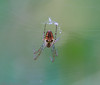 Very Small Spider. (raven fandango) Tags: very small spider august british canon eos 70d 2017 100mm macro countryside england english autumn autum garden hertfordshire herts insects insect nature photography photo photos stevenage uk wildlife