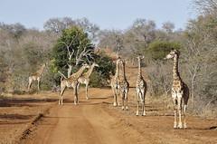 01 Elandela 22 (Mel Vázquez) Tags: southafrica sudáfrica