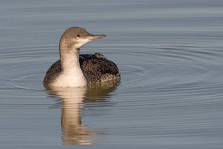 loon red throated