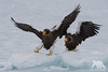 Balancing Eagles (fascinationwildlife) Tags: animal raptor raubvogel wild wildlife winter nature natur snow ice cold vogel bird birding eagle stellers steller sea seeadler adler riesenseeadler wings float drift japan asia north northern hokkaido