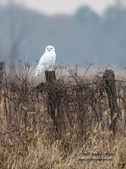 """The Watcher"" (Stephen J Stephen) Tags: bird buboscandiacus fall harfangdesneiges ottawa perched raptor snowyowl"