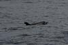 Risso dolphin (Mol_PMB) Tags: maldives risso dolphin grampus griseus