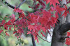 Japanese Maple (Bri_J) Tags: botanicalgardens sheffield southyorkshire uk park yorkshire autumn fall nikon d7200 japanesemaple tree red leaves acerpalmatum acer