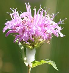 Plants_OB_499 (NRCS Montana) Tags: monarda fistulosa wild bergamot plants