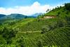 Sunny. (hadogumu) Tags: sony alpha a7rii a7rm2 zeiss sonnar fe35f28za sel35f28z 35mm tea munnar kerala india travel 印度