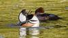 Hooded Mergansers (Bob Gunderson) Tags: birds california divingducks ducks goldengatepark hoodedmerganser lloydlake lophodytescucullatus mergansers northerncalifornia sanfrancisco