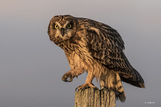 Short-eared Owl / Hibou des Marais