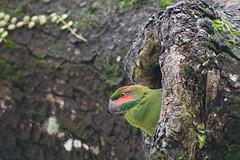 Taiping_2017-11-05_527 (kamaruld) Tags: bird taiping perak malaysia parakeet treehouse treehole greenbird nikon nikkor naturalhabitat treebranch nest birdnest nikkorafs200500mmf56eedvr