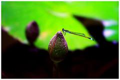 豆娘 Damselfly (Alice 2017) Tags: insect pink green bokeh damselfly canon canoneos7d eos7d hongkong 2017 nature canonef70200mmf4lisusm plant flower aatvl01