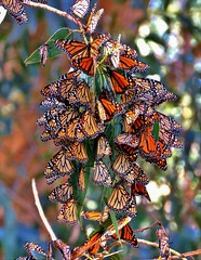 Monarch butterfly migration (moonjazz) Tags: butterfly migration nature photography wings insects california monarch grove cluster group behavior pismobeach orange color patterns beauty together amazing wonder flutter vivid science