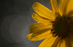 Thank you for the sunshine! (lkiraly72) Tags: friendship sunshine thankyou yellow flower droplet bokeh