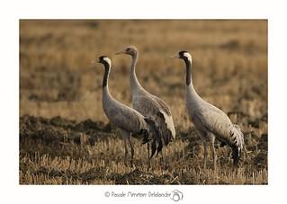 Grue cendrée - Common Crane