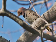 Northern Flicker, Portland Country Club (Bill Bunn) Tags: northernflicker woodpecker falmouth maine