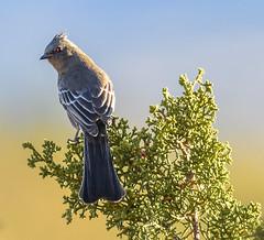 Phainopepla  (Phainopepla nitens) female (mharoldsewell) Tags: 2017 arizona d7200 nikon november phainopeplaphainopeplanitens santacruzcounty bird birds female mharoldsewell mikesewell photos