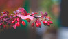 Food provided (- A N D R E W -) Tags: nature naturaleza ricoh rikenon 50mm f2 berries fruit red plant stem leaves color colorful sony ilce6000 mirrorless a6000