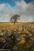 Malham Lone Tree (Twiglet Images) Tags: nikon d600 lone tree limestone pavement rock stone yorks yorkshire dales countryside