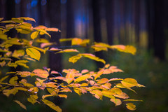 autumn leaves (photalena) Tags: 7dwf flora evening nature wald vintagelenses carlzeiss biotar bokeh fall leaves