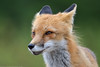 Rex fox - Renard roux (www.andrebherer.com) Tags: wildlife faune nature mammal fox redfox renardroux renard fauna reservefauniqueassinica quebec canada andrebherer
