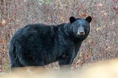 Black Bear (wn_j) Tags: wildlife wildanimals wildlifephotography nature naturephotography talcottmountain bear blackbear canon canon1dxii canon400mm animals