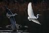 144.jpg (Kico Lopez) Tags: miño lugo aves galicia birds garcetagrande ardeaalba spain rio