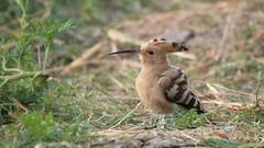 Common Hoopoe (हुदहुद) - Upupa epops (jhureley1977) Tags: commonhoopoe हुदहुद upupaepops birds birdsofindia jabalpur jabalpurbirds ashutoshjhureley ashjhureley avibase naturesvoice
