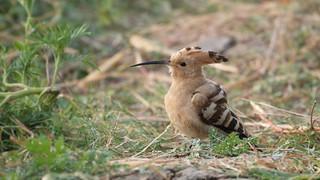Common Hoopoe (हुदहुद) - Upupa epops