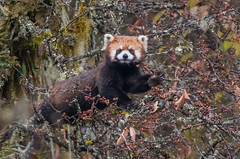 Red Panda in the wild (Tim Melling) Tags: ailurus fulgens styani chinese red panda sichuan china labahe timmelling