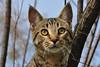 Profile portrait of my Cat (natureloving) Tags: cat catportrait animal macro nature natureloving nikon pet chat d90 nikonafsdxnikkor18300mmf3563gedvr cc100 animalplanet