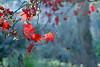 Japanese Maple (Mah Nava) Tags: ahorn maple japanesemaple herbst autumn red rot blue blau