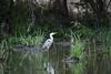 Grey Heron, Timbavati (Mike/Claire) Tags: bird greyheron 2016 southafrica tandatula timbavati