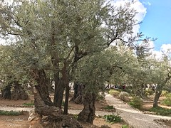 6 - Getszemáni kert / Getsemanská záhrada