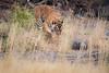 IMG_2498.jpg (kaypaji) Tags: wildlife ranthamborenationalpark travel ranthambore tiger india royalbengaltiger bengaltiger safari ranthamboretigerreserve rajasthan animal sawaimadhopur in