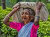 Tea Leaf Picker, Rothschild Tea Estate, Sri Lanka (bfryxell) Tags: pussellawa rothschildteaestate srilanka tealeafpicker teaplantation worker