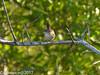 Marsh Wren (Cajunspice) Tags: md