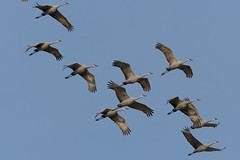 Sandhill Cranes over Fish Point SWA (Bill VanderMolen) Tags: fishpointswa michigan
