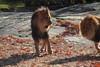 IMG_2660 (neatnessdotcom) Tags: new york city nyc bronx zoo tamron 18270mm f3563 di ii vc pzd canon eos rebel t2i 550d lions