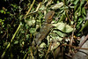 Gruñidor del Sur (Bernardo Guzman Roa) Tags: lagarto gruñidordelsur lagartodecorbata pristidactylustorquatus reptil sonydscw320 sony dscw320