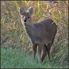 Chinese Water Deer (image 2 of 2) (Full Moon Images) Tags: woodwalton fen greatfen bcn wildlife trust nnr national nature reserve cambridgeshire animal mammal chines water deer