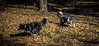 _DSC7425 (Ryan Ivy) Tags: cutter creek ranch wills point texas dogs border collies