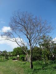 Acacia koa: Koa wilt (dead tree) (Scot Nelson) Tags: tree dieback death resinosis stem cankers vascular necrosis acacia koa wilt fusarium oxysporum f sp koae