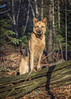 Jinny's autumn portrait (morin.luce) Tags: dog german shepherd autumn fall foilage attentive friendly canine muzzle loyal adorable alert legs faithful curious canon 5d markiii evergreens woods forest sunshire quebec canada protective purebred ears