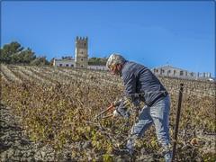 PODA DEL VIÑEDO (BLAMANTI) Tags: viñedos viñas poda jerezdelafrontera jerez elmajuelo castillodemacharnudo personas trabajos canonpowershotsx60 canon