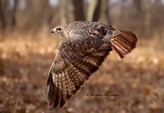 DSC1270 Red-tailed Hawk